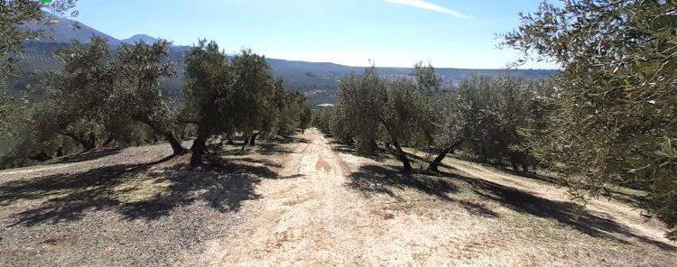 Venta de Finca de olivar con riego por goteo en Granada