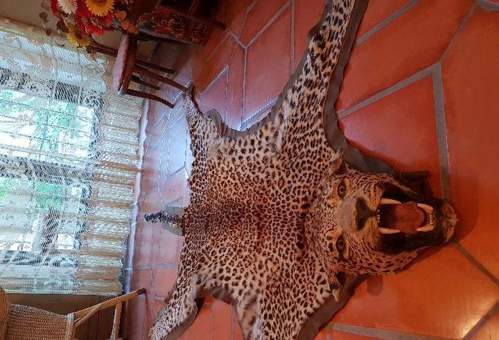 Antigua piel de leopardo africano pre-cites