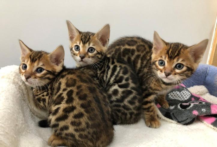 Tengo tres gatitos de bengala, un macho y una hembra