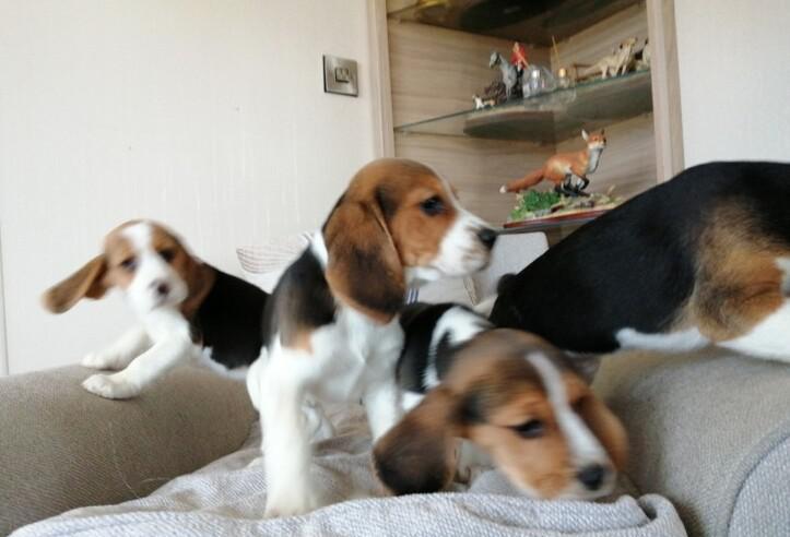 Aquí tenemos una hermosa camada de cachorros beagle