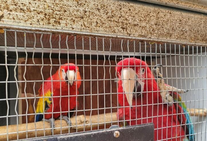 Hembra y guacamaya roja con jaula