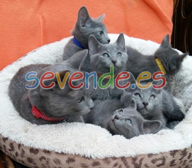 Disponibles gatitos de raza azul ruso