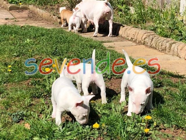 Cachorros de bull terrier pura raza