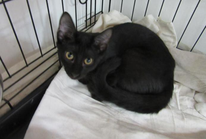 Thea. gatita negra en adopcion.