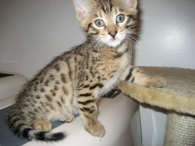 Regalo bengal gatito
