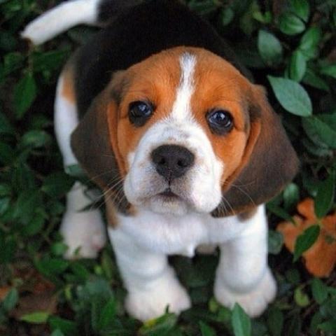 Regalo cachorros beagle