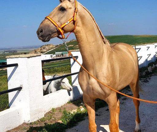 Venta de caballo pura raza lusitano en sevilla