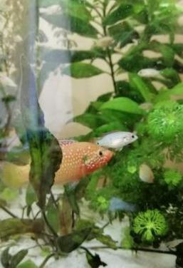 Alevines de ciclido pez joya rojo