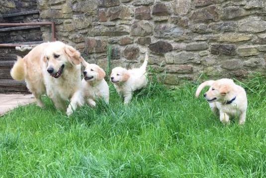 Cachorritos de golden retriever,