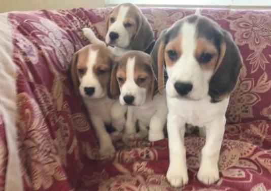 Cachorros Beagle disponibles para adopción.