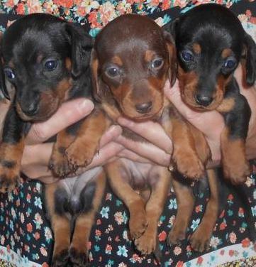 Cachorros de raza teckel miniatura