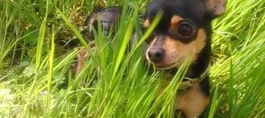 Chihuahua macho novia para monta