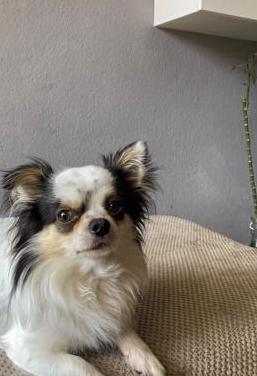 Chihuahua macho para monta