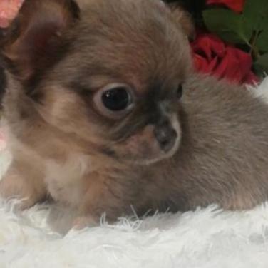 Chihuahua macho pelo largo tricolor lilac