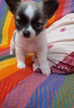 Chihuahua pequeño!!