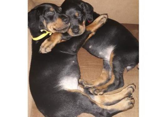 Doberman pinscher cachorros.