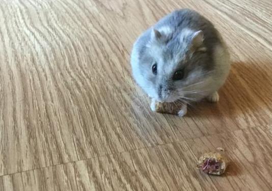 Hamster ruso con jaula