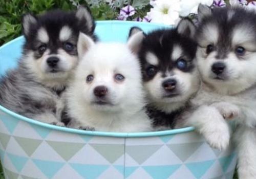 Pomsky cachorros con pedigree