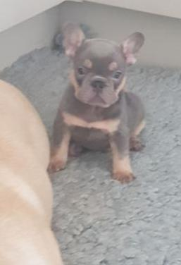 Activo bulldog francés cachorro