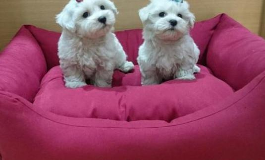 cachorritos de bichón maltés