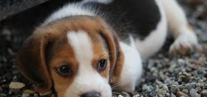 Cachorros beagle hembra y macho aquí