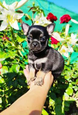 Chihuahua hembra negra y fuego