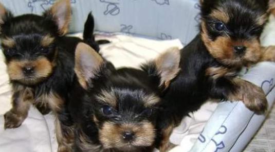 Libre mini toy cachorros yorkshire