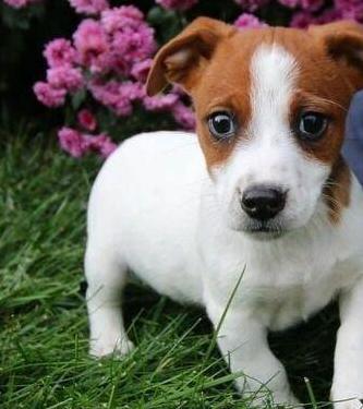 Pequeños cachorros de jack russell terrier