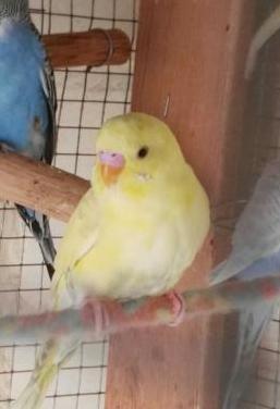 Periquito macho joven amarillo