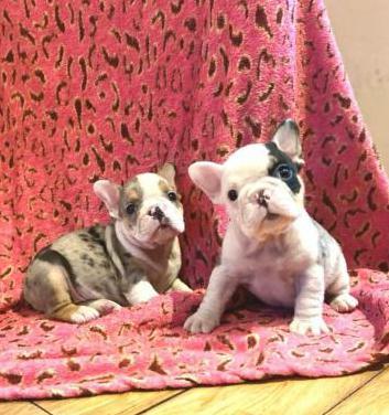 Raza de bulldog francés