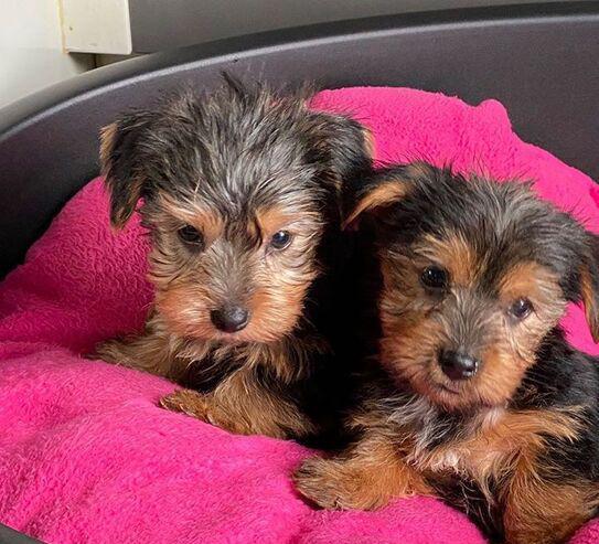 Yorkshire. cachorros pura raza. se entregan vacunados,