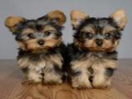 Cachorro de yorkshire
