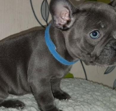 Bulldog francés macho y hembra