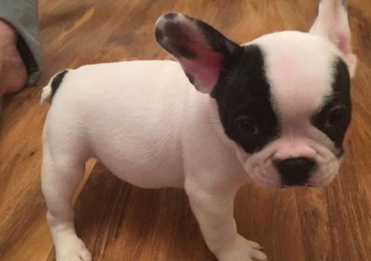 Bulldog francés para adopción libre