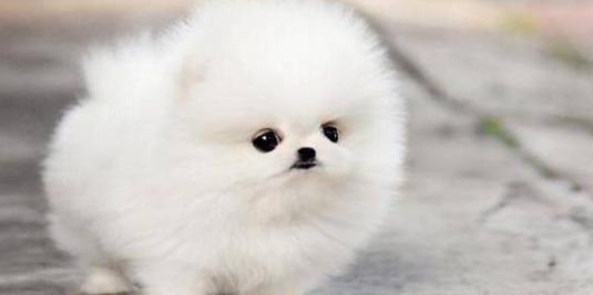 Cachorros pomerania de raza pura__