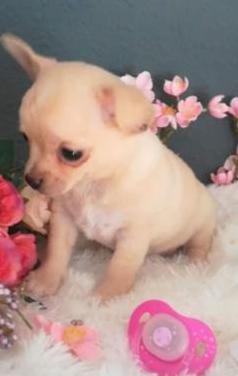 Chihuahua macho color crema