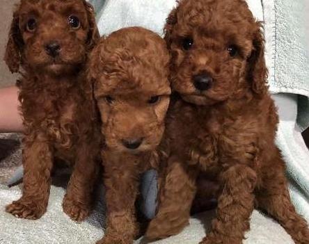 Disponibles cachorros de caniche toy
