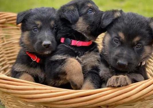 Cachorros de pastor alemán saludable