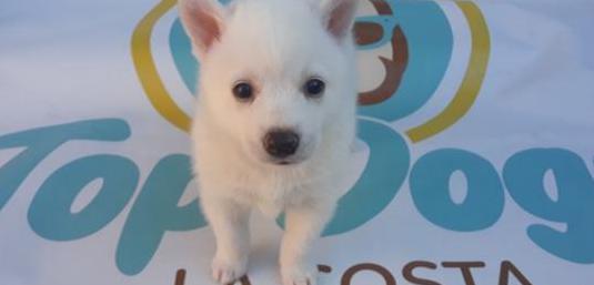 Cachorros de pomsky toi `husky miniatura