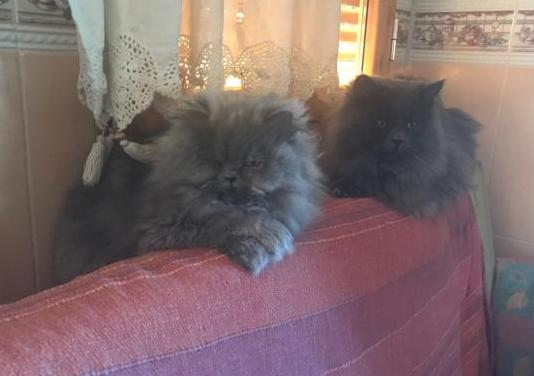 Camada 2 gatas hembras persa