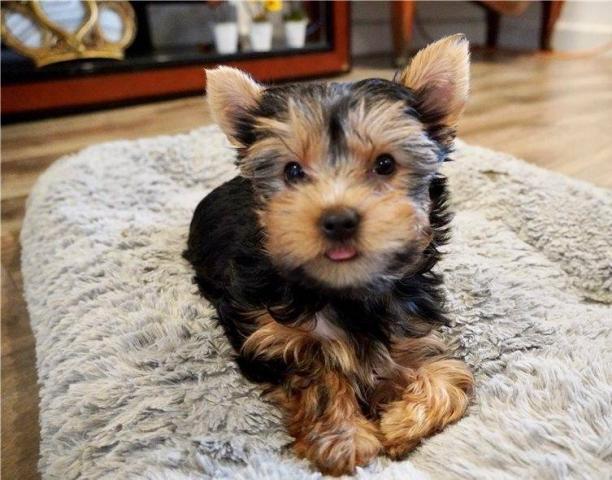 11...regalo..regalo macho y hembra yorkshire terrier