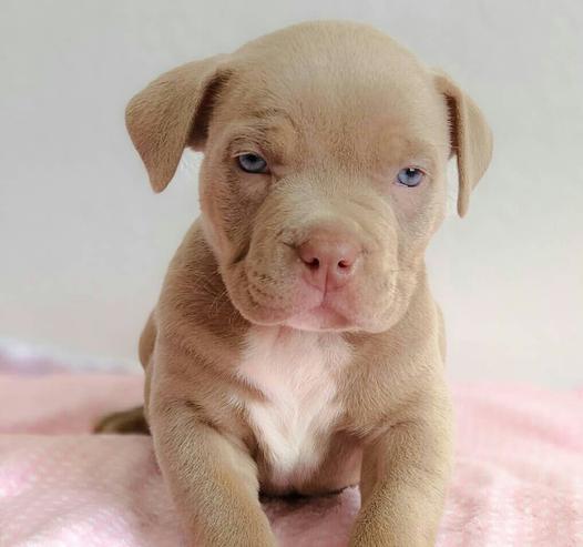 Nuestros hermosos cachorros pitbull americano