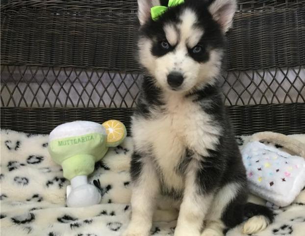 Cachorros husky para adopción (lorenzo994lopez@gmail.com)