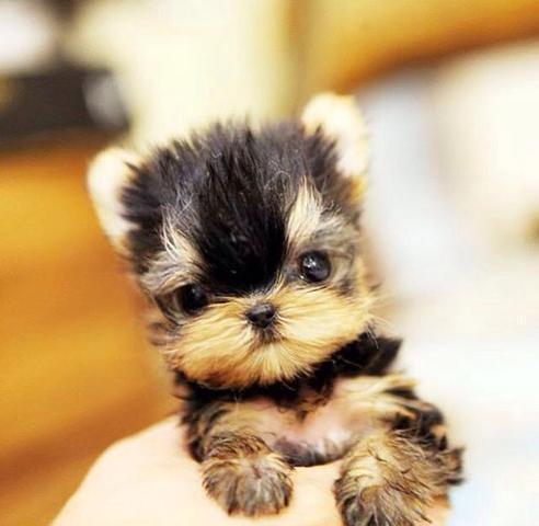 Cachorros yorkshire terrier mini toy, para su adopcion