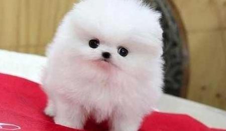 111 cachorros pomerania pura raza