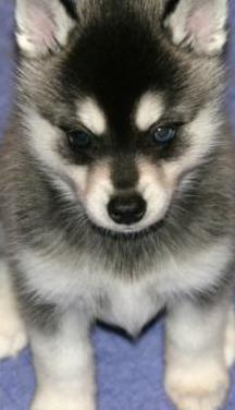 Adopto cachorro husky