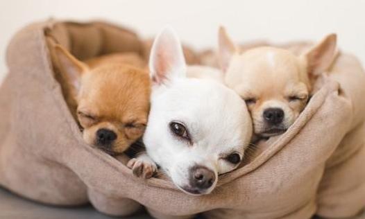 Chihuahua bonita línea