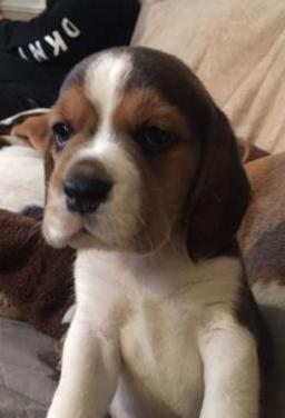 Cachorros beagle disponibles