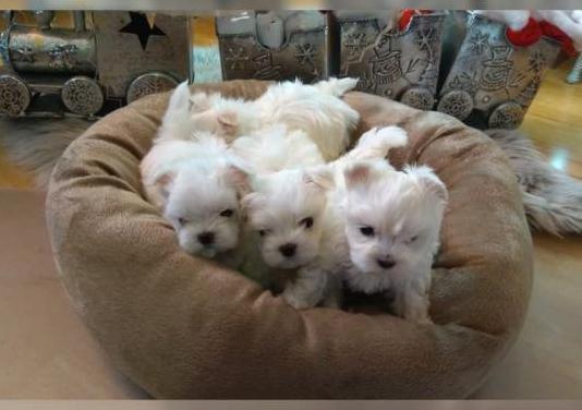 Cachorros micro maltés!!