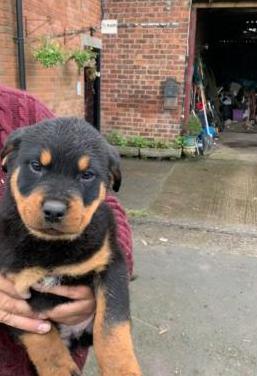 Cachorros rottweiler para adopción